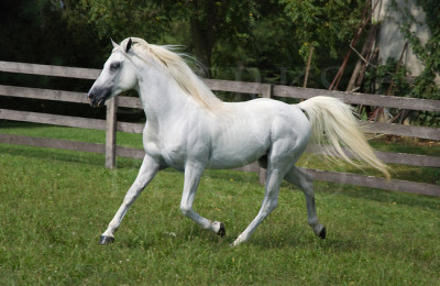 Stock photo of a white Arabian horse at a trot.