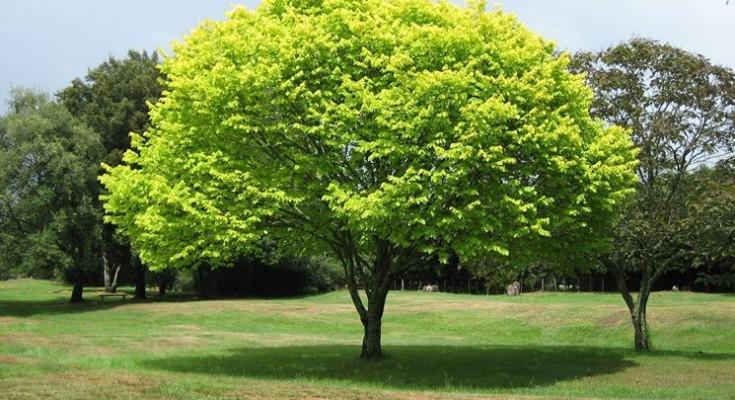capitozzatura alberi