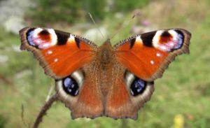 Farfalla pavone un esemplare